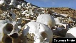 صدها جمجمه و استخوان که گفته می شود متعلق به کمبوجیه است در مصر کشف شد.