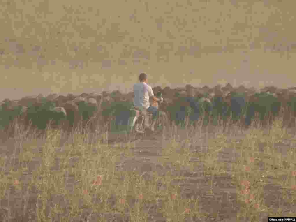 Пастух на мотоцикле выгоняет стадо овец.