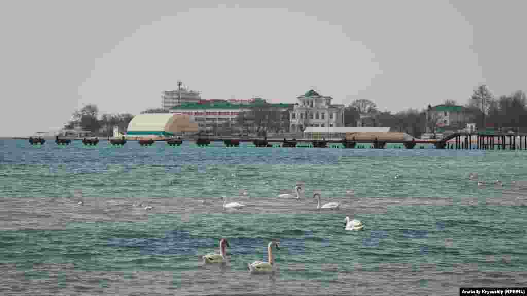 Лебеді-шипуни у Євпаторійській бухті