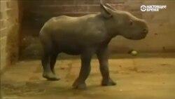 Рождение детеныша носорога отпраздновал зоопарк в Чехии