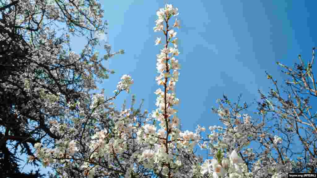 В это время года на Фиоленте много цветущих деревьев