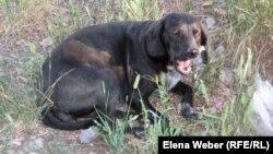 Одна из бродячих собак в Темиртау.