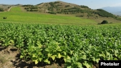 Armenia - A tobacco field.