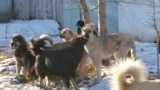 Бродячие собаки в Баткенской области.