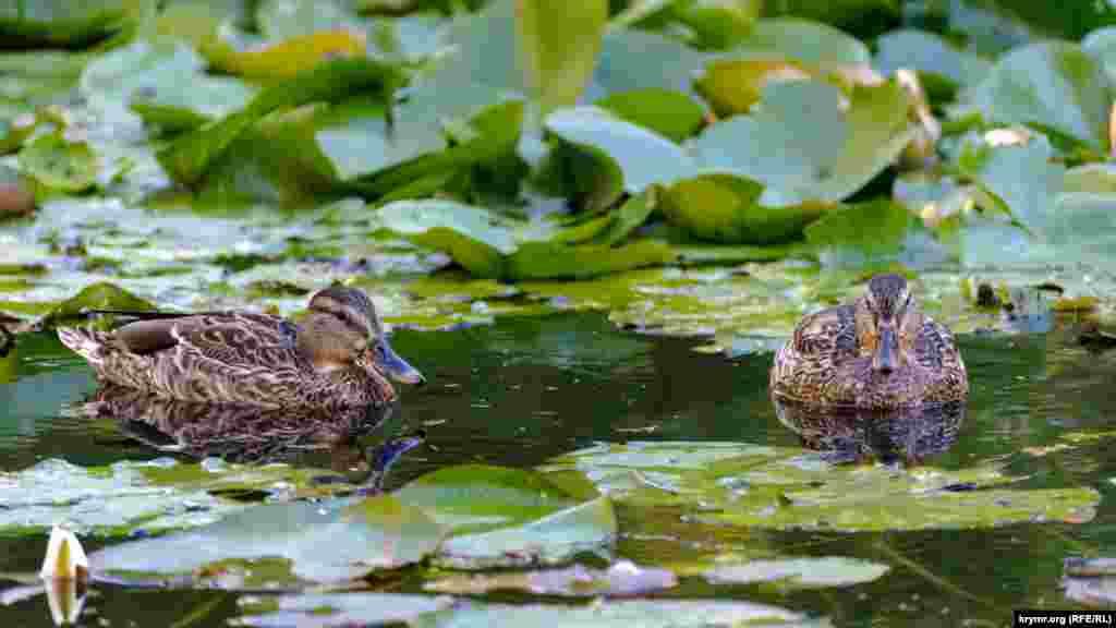 Дикі качки на ставку університетського ботанічного саду