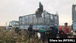 Мақта терімінде жұмыс істеп жүрген адамдар. Түркістан облысы, 29 қыркүйек 2020 жыл.