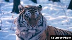 A Siberian (Amur) tiger (photo courtesy of WCS Russia Program)