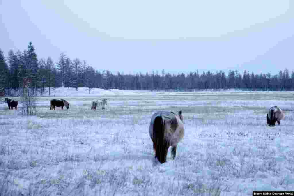 Small, sturdy Yakut horses graze near Tomtor.