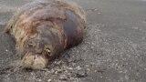 Мертвый тюлень на дагестанском побережье Каспия