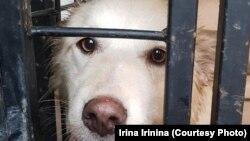 Jedan od pasa o kojima se brine aktivistkinja Ljudmila Jevdokimova u Samari.