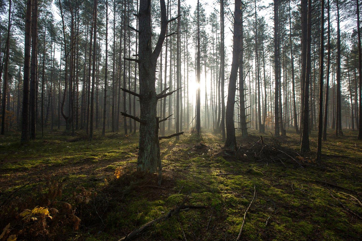 Лес у Белавескай пушчы. Фота Уладзь Грыдзін