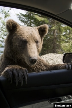 A wild brown bear peers into a car window on a Romanian mountain road.