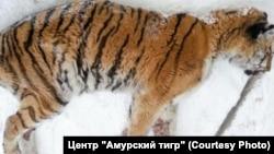 Истощенная тигрица в Хабаровском крае