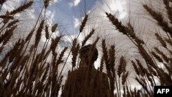 Një fermer duke korrur grurë.