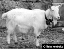 "Козел Фрэнк - талисман ""Живого журнала"" http://www.livejournal.com/site/goat.bml"