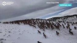 Так бегут по горам более 4 тысяч лосей