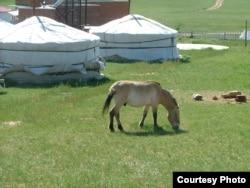 Конь Перавальскага
