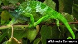 Хамелеон – быстрее всего адаптирующееся к окружающей среде животное