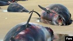 مرگ دلفینها در جاسک
