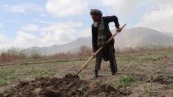 روزی خان ۹۰ ساله با چهار دهه تجربه دهقانی