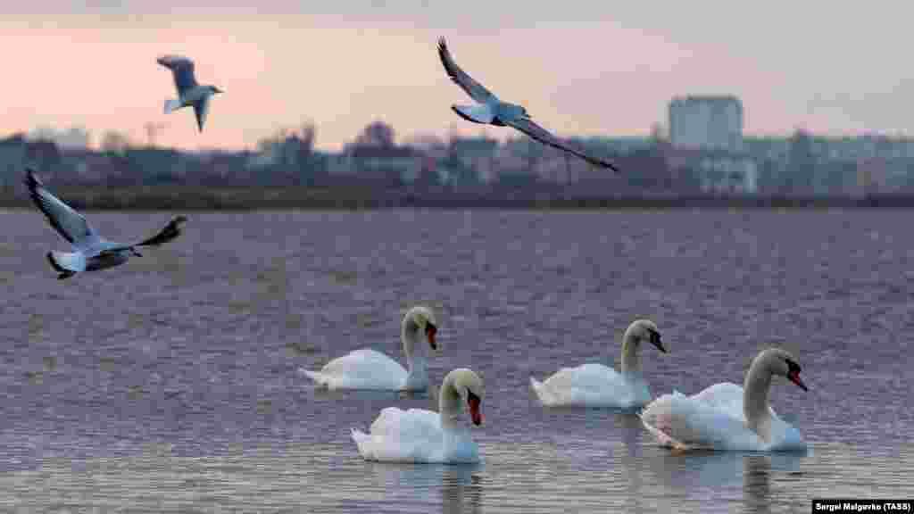 Останнім часом екологи спостерігають, що лебеді затримуються довше звичайного. На це впливає потепління і гарна кормова база