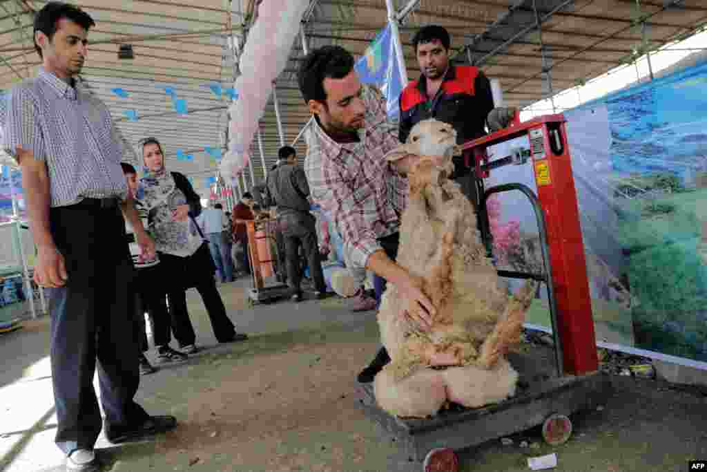 A sheep is weighed before purchase at a market in Tehran.