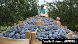 La cules de prune. Văratic, Râșcani, 14 august 2015