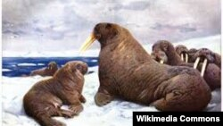 QUIZ - Walrus, a resident of the Arctic