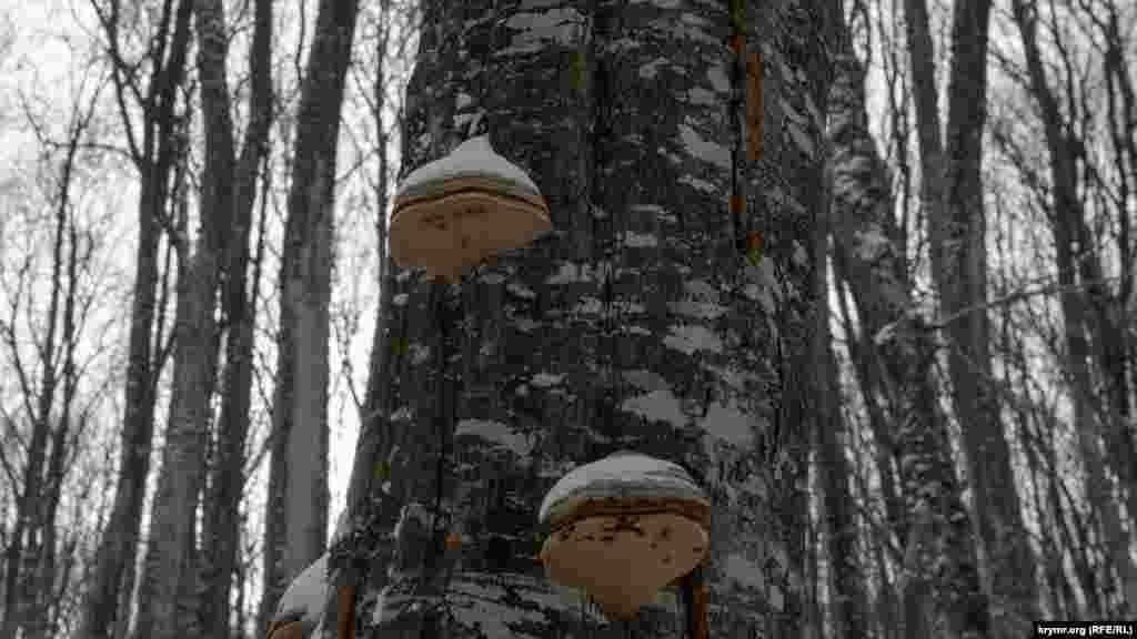 Заснеженные грибы трутовики на стволе мертвого бука