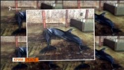 Чому дельфінарії в Криму треба заборонити? | Крим.Реалії