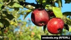 Ruski fitosanitarni inspektori posumnjali su da je 19 tona jabuke pristiglih iz BiH, zapravo porijeklom iz Poljske