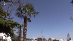 Как пальмы из ялтинских дворов оказались на набережной города (видео)