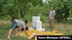 Armenia -- Farmers harvest apricots in the Ararat Valley, 30Jun2012