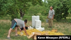 Armenia -- Apricot harvest in Ararat province, 30Jun2012