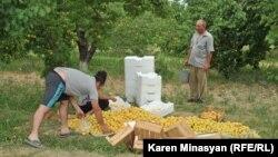 Armenia -- Apricot harvest in the Ararat Valley, 30Jun2012.