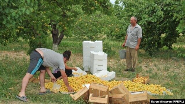 Armenia -- Apricot harvest in Ararat province, 30Jun2012