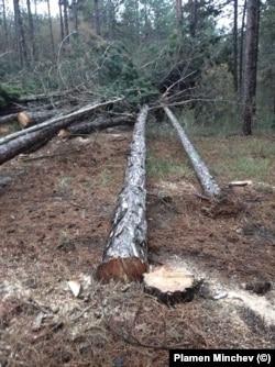 Отсечени дървета в местността Коджа тепе