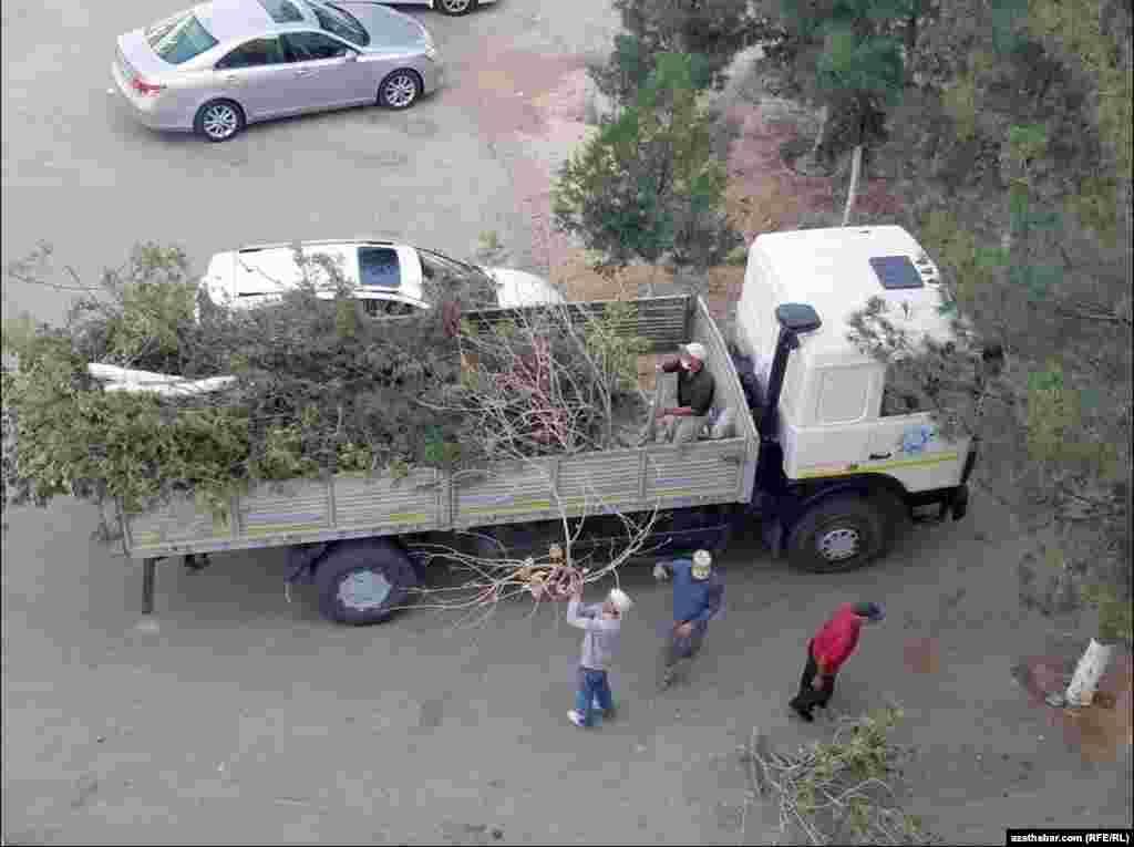 Некоторые деревья перед жилыми домами вырубают либо срезают их ветви. Ашхабад.