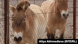 """Куланы в национальном парке """"Алтын-Эмель"""". Алматинская область, 30 марта 2012 года."""