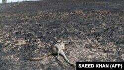Померлий унаслідок пожежі кенгуру, штат Новий Південний Уельс, Австралія, 8 січня 2020 року