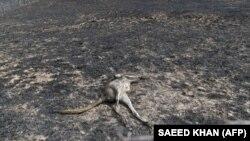 Погибший в результате пожара кенгуру