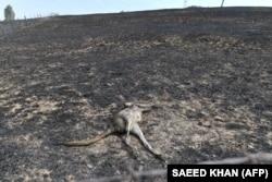 Një kangur i ngordhur si pasojë e zjarreve.