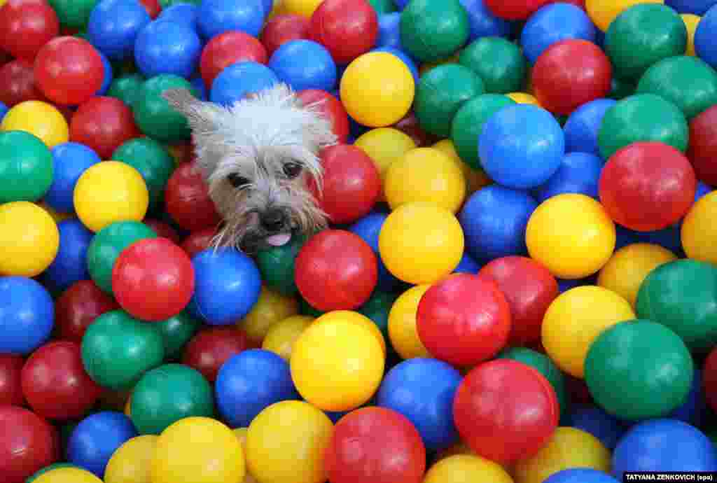 A dog plays in a pool with colored balls during the Freaky Summer Party 2017 city festival in Minsk, Belarus, on July 30. (epa/Tatyana Zenkovich)