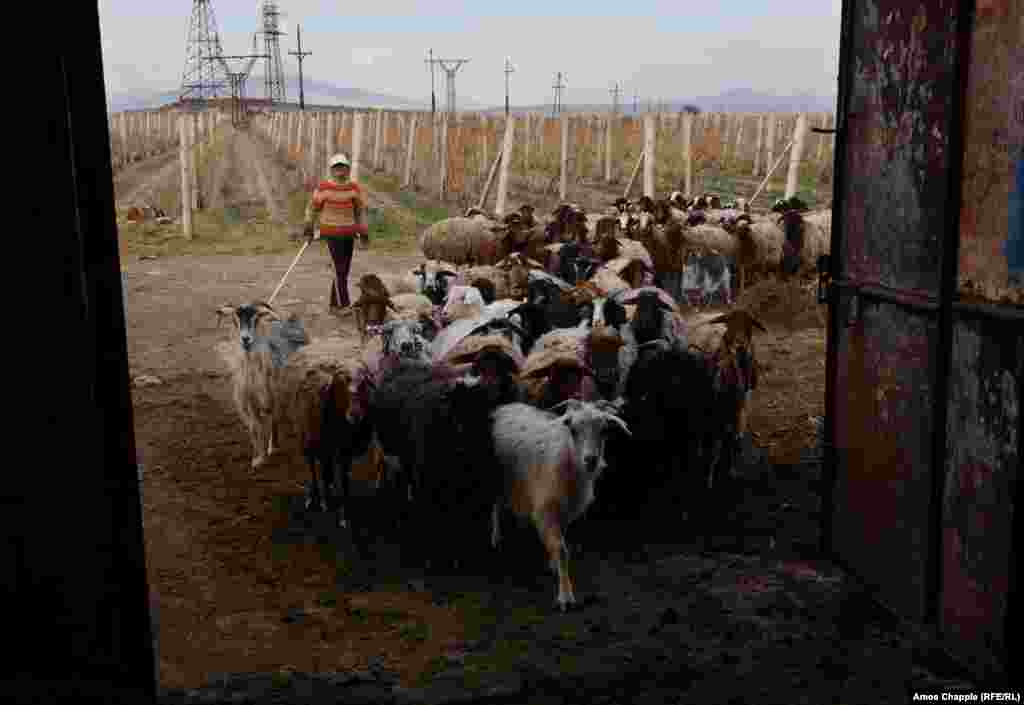 An Armenian shepherd boy leads his flock to stable in Aknalich. Two Yazidi families from Iraq had attempted to settle in Aknalich after fleeing territory controlled by IS, but left recently for Germany. Locals RFE/RL spoke to cited a language barrier as the reason for their departure.