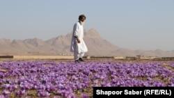یک کشاورز و کشتزار زعفران در ولایت هرات