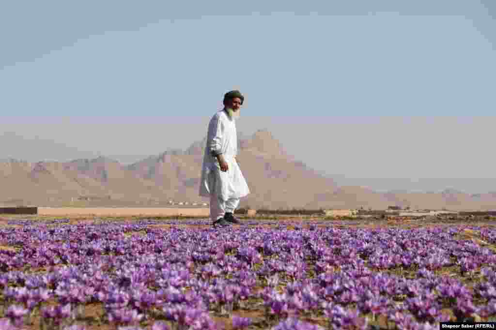 A man walks through saffron fields in Afghanistan's Herat Province on November 17. (Shapoor Saber, RFE/RL)
