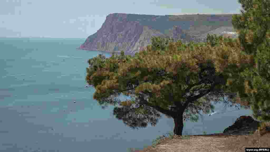 Крымская сосна нависла над обрывом