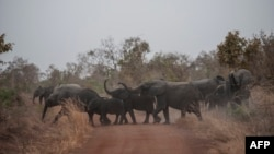 Африка. Стадо слонов пересекает дорогу в Национальном парке Пенджари (Бенин).