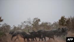 Пенджари ұлттық паркінде (Бенин) жолдан өтіп бара жатқан пілдер (Көрнекі сурет).