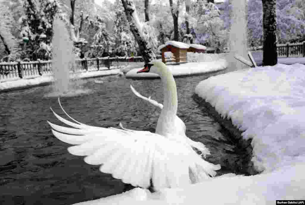 A swan flaps its wings in an icy pond at the Kugulu Park public garden in Ankara, Turkey, on December 26. (AP/Burhan Ozbilici)